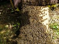 Pszczoły